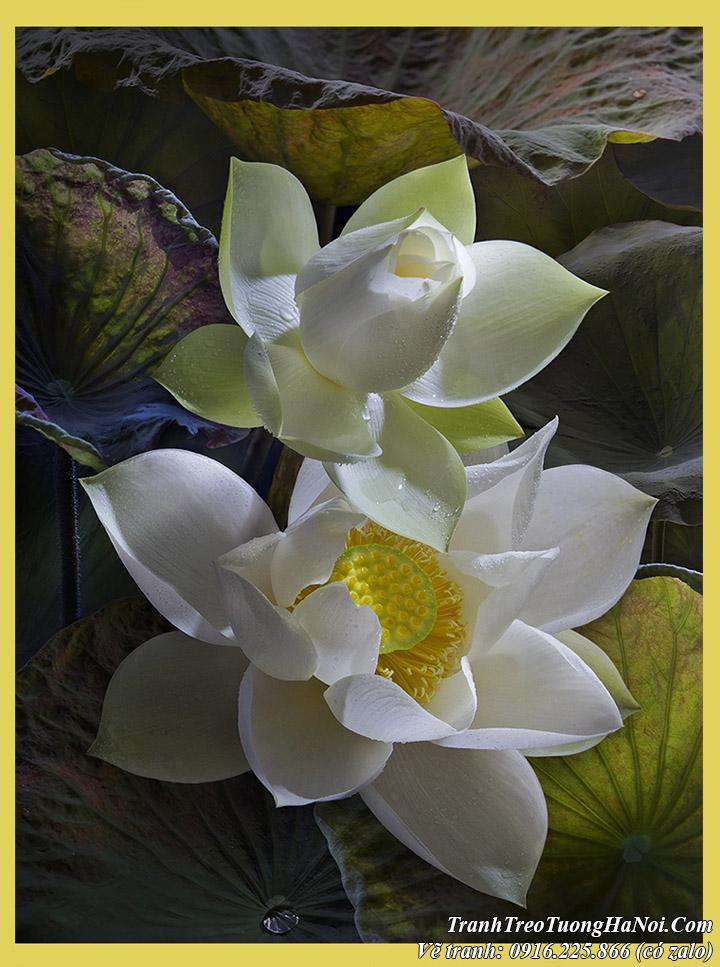 Tranh vẽ hai bông sen trắng nghệ thuật tinh khôi