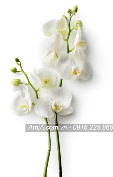 Tranh spa chat luong cao canh hoa phong lan trang AmiA ist-665417496