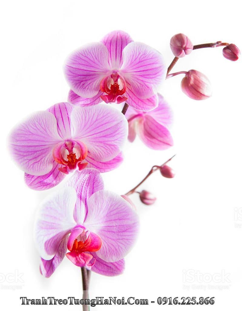 Tranh hoa lan phu quy treo o am tuong phong khach