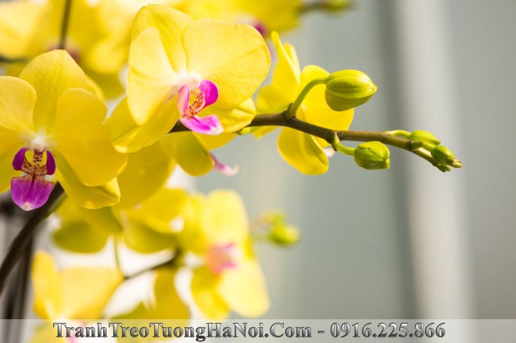 Tranh hoa phong lan vang no phu quy hop menh kim