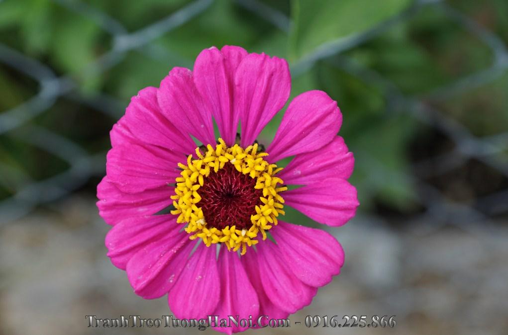 Hinh anh bong hoa cuc hoa mi dep amia