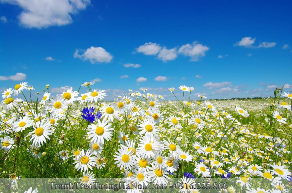 Hinh anh canh dong hoa cuc hoa mi amia is472317616