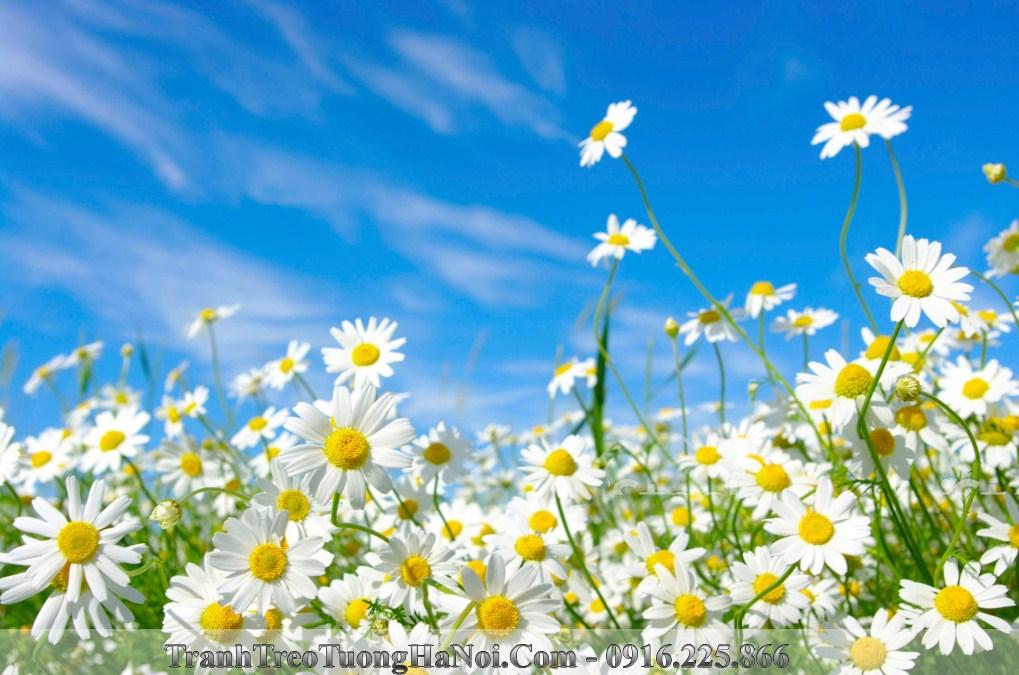Hinh anh dep hoa cuc hoa mi troi xanh amia is177711055