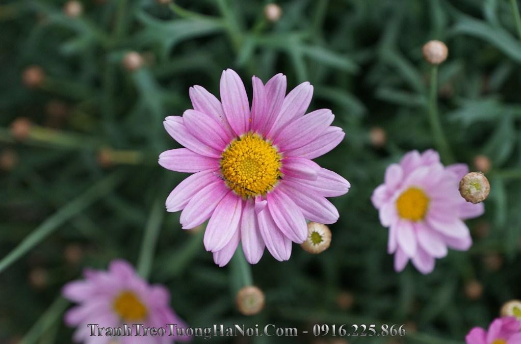 Hinh anh hoa cuc hoa mi hong tim dep amia hc119