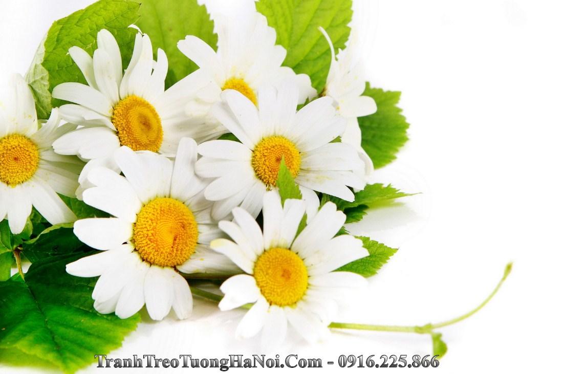 Hinh anh hoa cuc hoa mi trang amia 657