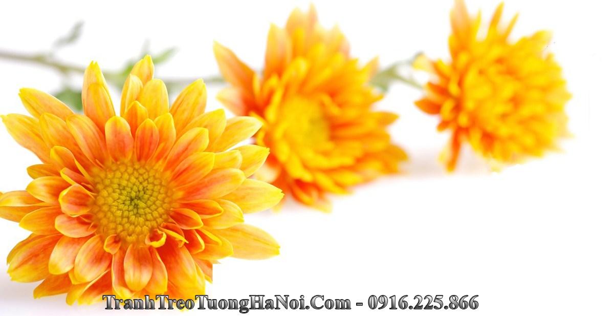 Hinh anh hoa cuc vang amia 236