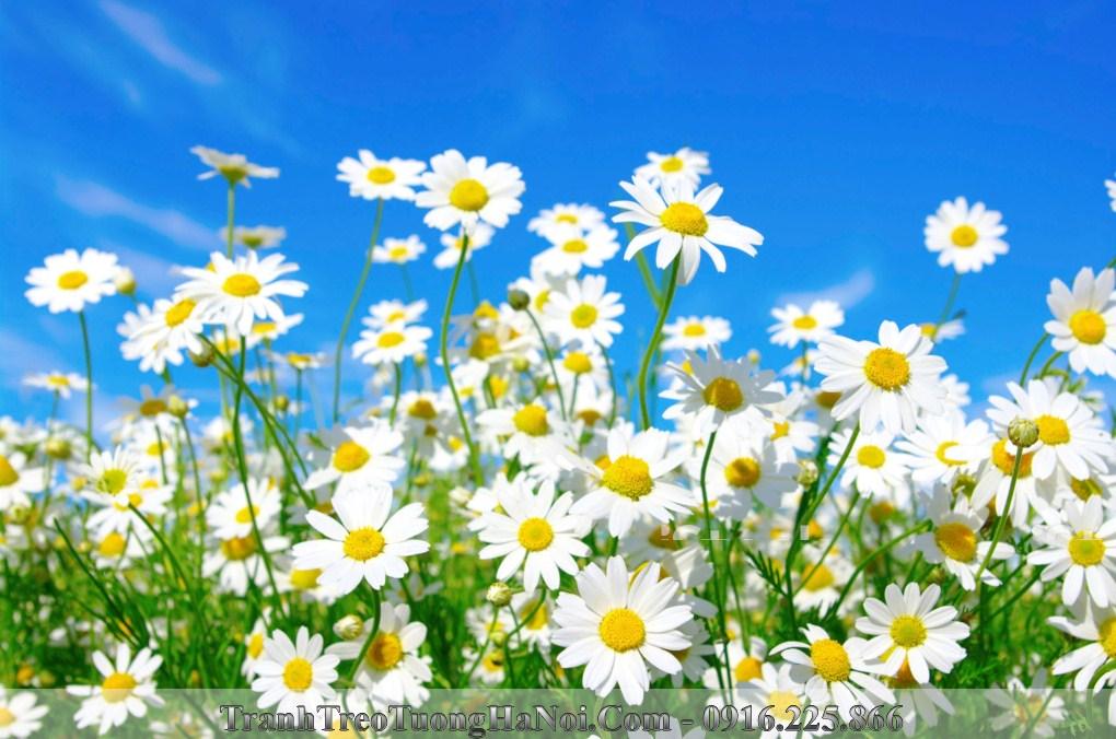 Hinh anh thien nhien canh dong hoa cuc hoa mi amia is177810706