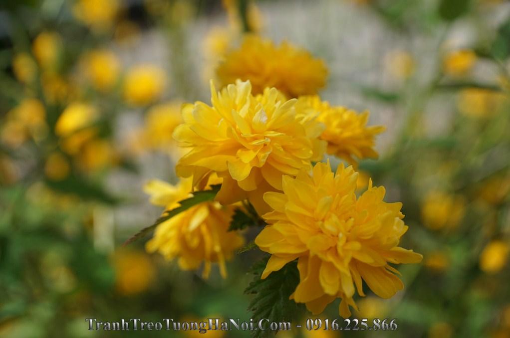 Tranh hoa cuc vang chuc tho y nghia amia hc115