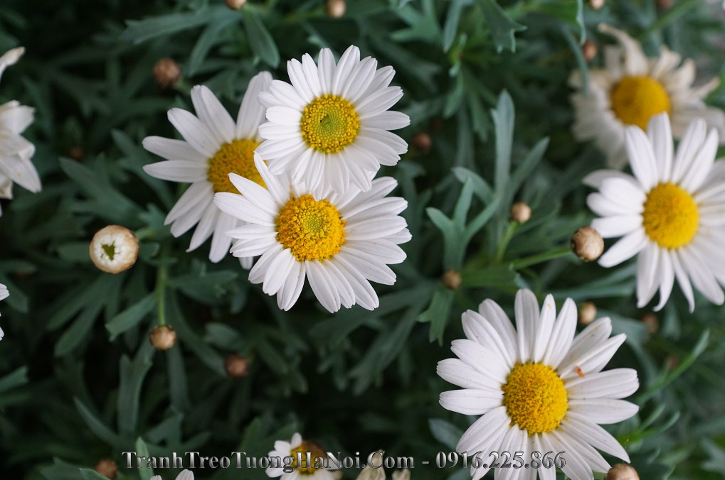 Tranh treo tuong hoa cuc hoa mi amai hc117